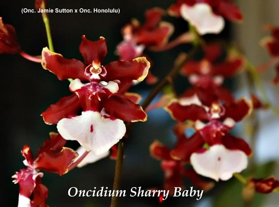 chocoloate orchid