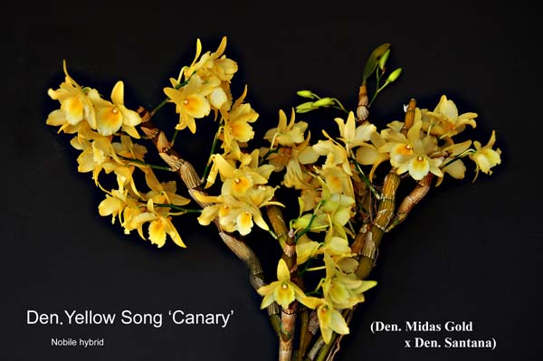 Care and culture of nobile type dendrobiums yellow song mightylinksfo