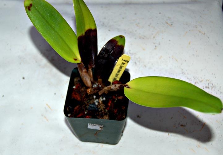 pythion destroy plant