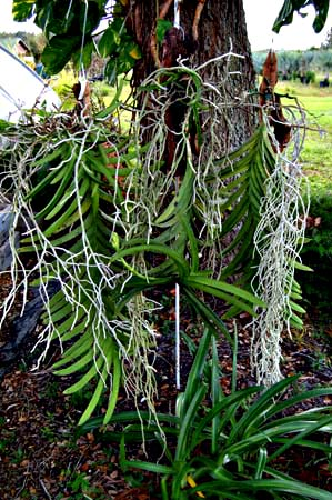 Image Is Loading Vanda Orchids Post Orchid Bark Subsute Potting